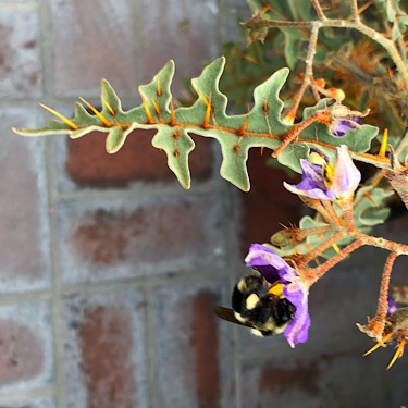 Solanum pyracanthum with Bee